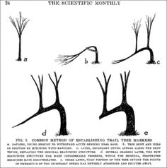 Indian Marker Trees - They employed this knowledge to use trees as markers. They would take young saplings and bend them over. Depending on where they lived, they might use a rock or stake to hold the sapling down or it might be tied town with bark, rawhide, or a strong vine. The sapling would be tied down in a direction parallel to the trail. Marker trees could be close together or a distance apart. The more dense the forest, the more markers were needed.
