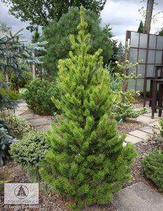 Pinus banksiana 'Manomet' - Sosna Banksa 'Manomet' Drzewo o pokroju stożkowym, zwartym, wolnorosnące. Przyrasta ok. 10 cm na wysokość. Igły jasnozielone. Ma małe wymagania glebowe. Dobrze rośnie na stanowiskach piaszczystych i słonecznych. Polecana do różnych typów ogrodów, również tam, gdzie panują trudne warunki siedliskowe