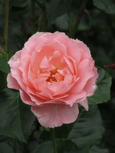 'L'Aimant' |FL rose. Bred by Harkness (United Kingdom, before 1994).
