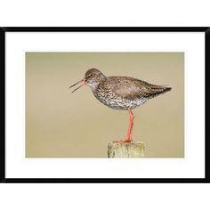 Global Gallery 'Common Redshank Calling, Bantpolder, Lauwersmeer, Friesland, Netherlands' Framed Photographic Print Size: