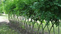 Junge Bäume wurden so gepflanzt, dass sie wie ein Jägerzaun wachsen. Die Krone…