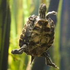 Baby water turtles are carnivorous and need meat and greens for health.