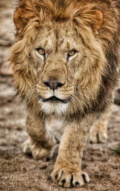 Stunning Lion. !IEC