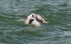 In this heart-breaking photo, an adult dolphin is seen carrying the body of its dead baby on its back. The scene was witnessed by tourists during a boat tour in the sea near Qinzhou in southern China's Guangxi Province. Wang Bin, who took the photo, said  that during the three minutes they watched, the baby slid from its mother's back several times but each time the mother would dive again to pick up her baby and keep going.