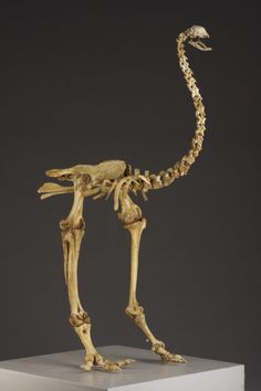 Partially Complete Skeleton of an Extinct New Zealand Moa (1600 to 1900 New Zealand)