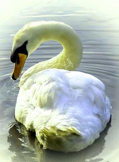 Swan Pictures, Swans, Bird, Animals, Animales, Animaux, Birds, Animal, Animais
