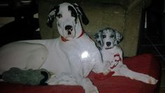 Bella & baby Mia, my Great Danes♥
