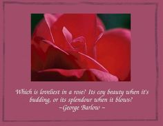 images of roses with quotes | the rose family the rose is a rose and was