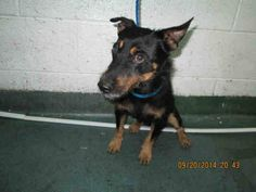 MUZZ (A1646416) I am a male black and brown German Pinscher mix.  The shelter staff think I am about 1 year and 3 months old.  I was found as a stray and I may be available for adoption on 09/26/2014. — hier: Miami Dade County Animal Services. https://www.facebook.com/urgentdogsofmiami/photos/pb.191859757515102.-2207520000.1411342786./843515565682848/?type=3&theater