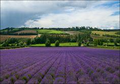 Lavender fields at Shoreham, Kent, UK