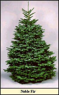 List of Live Christmas Tree names pictures and types of Natural Christmas Tree species and Artificial Christmas Tree types. Christmas Tree Varieties, Noble Fir Christmas Tree, Noble Fir Tree, Natural Christmas Tree, Types Of Christmas Trees, Decorating With Christmas Lights, Beautiful Christmas Trees, Country Christmas, Xmas Tree