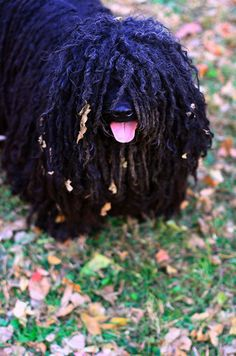 Goggie ob teh Week: Hungarian Herders The Puli is an ancient sheepdog, from Hungary. Nomadic shepherds of the Hungarian plains valued these herding dogs, paying as much as a year's salary for a Puli. All Dogs, I Love Dogs, Cute Dogs, Dogs And Puppies, Hungarian Dog, Top 10 Dog Breeds, Puli Dog, Komondor, Herding Dogs