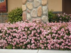 Indian Hawthorn [recommended by a local Houston plant nursery as a low-maintenance plant; but needs full sun Small Evergreen Shrubs, Evergreen Bush, Dwarf Shrubs Full Sun, Garden Shrubs, Garden Plants, Backyard Plants, Flower Plants, Garden Bed, Dream Garden