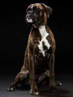 Boxer Dogs Looks just like my Buddy boy ❤️ - Boxer Breed, Brindle Boxer, Boxer Puppies, Dogs And Puppies, Boxer Mom, Boxer And Baby, Boxer Americano, Pitbull, Animals Beautiful