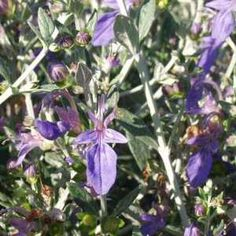 Teucrium fruticans 'Azureum' at San Marcos Growers - low water, deer resistant