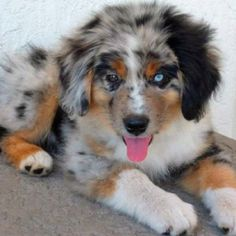 Blue Aussiei want this puppy