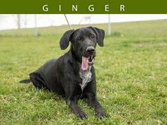 MY NAME IS GINGER. I WAS SURRENDERED AS MY OWNER WAS NO LONGER ABLE TO CARE FOR ME. I HAVE LOTS OF ENERGY. I AM A VERY HYPER GIRL THAT NEEDS LOTS OF EXERCISE. I GET ALONG WELL WITH OTHER DOGS. I MAY BE UNSURE OF YOU WHEN YOU FIRST MEET YOU, BUT ONCE I GAIN MY CONFIDENCE WITH YOU I HAVE LOTS OF LOVE TO SHARE. PLEASE CONTACT TORONTO ANIMAL SERVICES NORTH