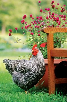 Raising Chickens and Poultry for Home Pest Control Poultry are an all-natural, animated insecticide Barred rock chickens turn insects into eggs Beautiful Chickens, Beautiful Birds, Chickens And Roosters, Fancy Chickens, Urban Chickens, Chicken Breeds, Chicken Coops, Chicken Tractors, Farms Living