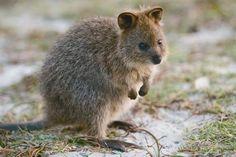 Quokka Setonix brachyurus A kangaroo with short legs