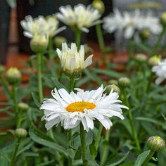 'Freak!' Leucanthemum: A fun, fluffy, even freaky, Shasta daisy, 'Freak!' The fluffy 2- to 2-1/2-inch-wide flowers feature layers of white petals. Plant in partial shade in really hot climates. Flowers bloom from June through frost. To encourage reblooming, remove faded blooms. Name: Leucanthemum x superbum 'Freak!' Growing Conditions: Full sun or part shade and well-drained soil Size: To 13 inches tall and 21 inches wide Zones: 4-8 Grow It With: Phlox