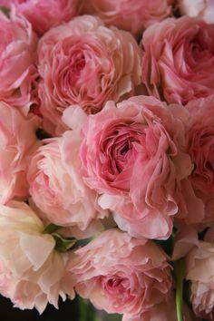 ranunculus Vigor pink