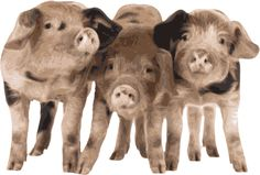 Quality Clip Art of Animals That Live On A Farm: Three Pigs