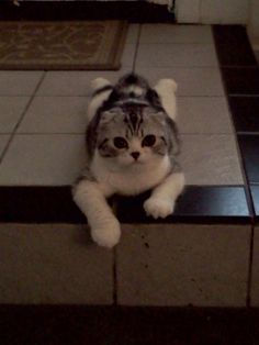 Scottish fold....I must have one