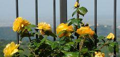 Giardino, Rose Gialle, Panorama Castel Gandolfo Rose, Plants, Pink, Plant, Roses, Planets