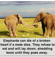 """""""Elephants can die of a broken heart if their mate dies. They refuse to eat or rest, shedding tears until they starve to death. Elephant Facts, Elephant Love, Baby Elephants, Giraffes, Circus Elephants, Elephant Stuff, Animal Facts, My Animal, Animal Quotes"""