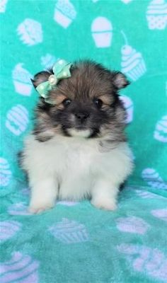 #pomeranian #pomeranianpuppy #pomeranianpuppies #Charming #PuppiesOfPinterest Pomeranian Puppies for Sale Source by tennis3416 The post Pomeranian Puppies for Sale appeared first on Welch Puppies. Pomeranian Breed, Pomeranian Puppy For Sale, Teacup Pomeranian, Puppies For Sale, Dogs And Puppies, Fox Face, Lancaster Puppies, Group Of Dogs, Popular Toys