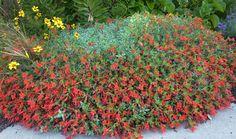 Zauschneria cana 'Calistoga Hybrids' - Buy Online at Annie's Annuals