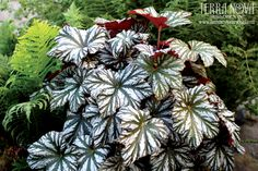 Begonia 'Cool Breeze Glacier' - Another plant in the great Cool Breeze™ series, this very vigorous selection shows well spring, summer outside and especially in winter indoors. An elegant house plant, it appreciates a cooler home -and isn't stunted by coolness, like the older Begonias. It grows as a very round mound, perfect for a manicured patio pot, or as a neat garden plant. The leaves are very similar to its siblings, rounded, ruffled and possessing a red back.
