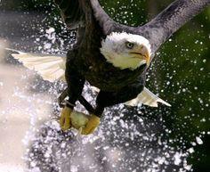 The Black Eagle ! Animal Action, Black Eagle, Birds, Animals, Inspiration, Biblical Inspiration, Animales, Animaux, Bird