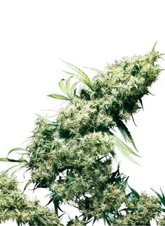 Jamaican Pearl is an old fashioned regular hemp strain which means it will produce both male and female plants. This is great if you want a very stable hemp strain that you can use as a motherplant to make clones or even, if you are feeling adventurous, breeding new strains yourself. #growhempseeds #howtogrowhemp