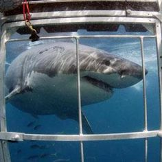 Great White Cage Dive, Australia, South Africa, The States, Somewhere.