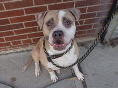 URGENT 1/4BROOKLYNCHIA-FEM TAN/WHT PIT MIX 3 YRSWORKING IT W/THAT SMILE https://www.facebook.com/photo.php?fbid=772675666078648&set=a.617941078218775.1073741869.152876678058553&type=1