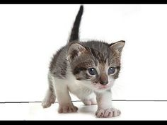 Gatos lindos y tiernos jugando - Compilación en vídeo de Gatos tiernos y...Baby Cats and Kittens meowing playing video Compilation baby Cats Kittens doing funny things    More cute kittens HERE http://www.youtube.com/user/TheFederic777?sub_confirmation=1  #kittens #cats #CuteKittens