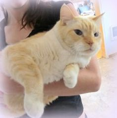 Gus - Super-Sized Family Cat is an adoptable Domestic Short Hair - Buff And White Cat in Hillsboro, OR. Gus has eyes that are such deep blue that you think you are staring into a pool of pristine wate...