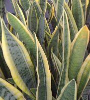 Snake Plant Sansevieria trifasciata LOW LOGHT of the easiest houseplants to grow, as it truly thrives on neglect.  There are both tall and short varieties available, making it a versatile addition to your home.  They withstand low light but also do well in brighter locations.  The only problem that may develop is root rot if you over water this plant.   60-85 degrees F.; allow soil to dry between watering