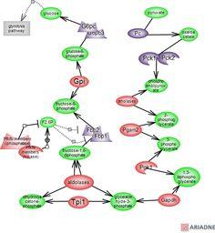 gluconeogenesis pathway