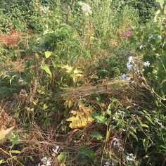 A beautifully wild part of the plot - white campion hovered figwort thistle to name a few plants keeping the raspberry canes red currant and apple trees company!