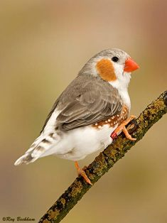 Penguin Zebra Finch