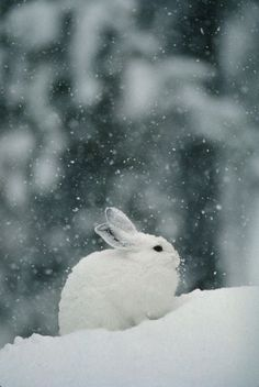 """Snow falls on a snowshoe hare in its winter coat."" Mummelig!"