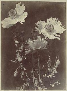 Bloemstilleven met Papavers, Charles Aubry, 1860 - 1870