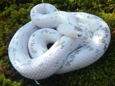 10 Beautiful Corn Snake Morphs – Reptile World Facts Anery palmetto corn snake,… – Animals Les Reptiles, Cute Reptiles, Reptiles And Amphibians, Pretty Snakes, Beautiful Snakes, Animals Beautiful, Beautiful Beautiful, Rat Snake, Corn Snake