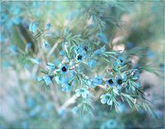 Frost    A Fine Art Photograph  Cool Blue Frosty by gildinglilies, $20.00