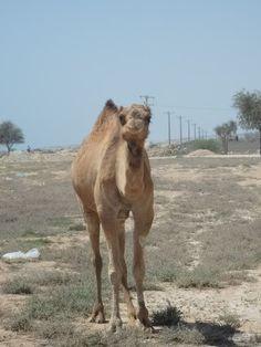 La isla de Qeshm, desconocida para muchos (incluso para nosotros hasta hace unos meses) está al sur de Irán, en el golfo pérsico. Al contrario que la pequeña, turística y explotada isla de Kish, Qeshm por la que pastan camellos salvajes es enorme y apenas tiene turismo por lo que pudimos disfrutar de playas solitarias en exclusiva.