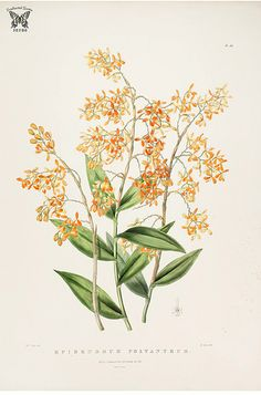 Many-flowered Epidendrum. The Orchidaceae of Mexico and Guatemala [Sarah Ann Drake] Plant Illustration, Botanical Illustration, Botanical Flowers, Botanical Prints, Orchid Drawing, Flower Catalogs, Orchidaceae, Botanical Drawings, Online Painting