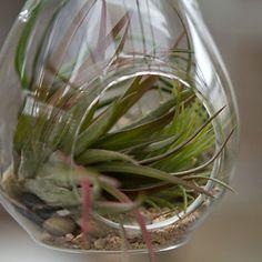 hanging teardrop terrarium by Terrian