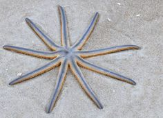 """Nine-armed Sea Star (Luidia senegalensis): the only species to be named for the fact that it has nine arms. Found in the western Atlantic ocean, this starfish, like many species, everts its stomach to engulf its prey, and essentially """"swallows"""" with its stomach. The nine-arm sea star dines on mollusks, small crustaceans, and sea worms, as well as filters stomachfuls of sediment to feast on tiny organisms."""